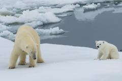 Polar bear and cub, Spitsbergen.