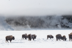 Bison in winter, Yellowstone National Park.